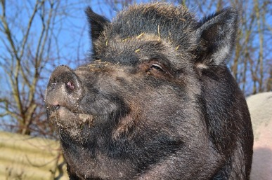 * I'm a pig and I approve this message
