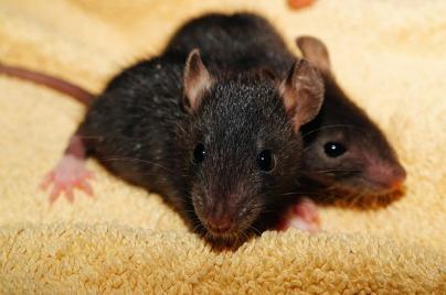 rat-435950_640